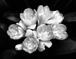 Camellia Bloom by Harold Silverman