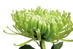 Green Bloom 1 by Jenny Kraft