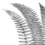 Fern I (on white)