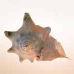Conch by Tom Artin