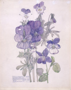 Wild Pansy and Wood Violet