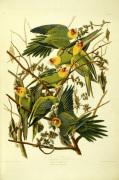 Carolina Parrots