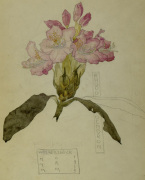 Rhododendron Walberswick 1915