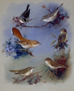 Various Warblers 1913
