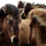 Pony Study II