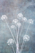 Allium Calm