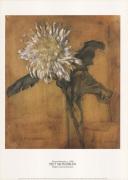 Chrysanthemum c.1900