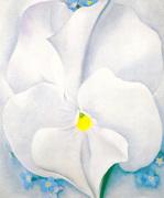 White Pansy 1927