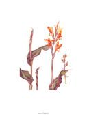 Plate 25 Canna indica Purpurea