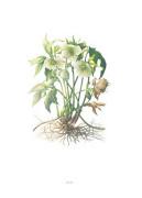 Plate 35 Helleborus orientalis