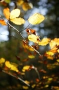 Autumn Beech Leaves by Richard Osbourne