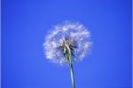 Dandelion Clock I by Richard Osbourne