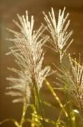 Zebra Grass by Richard Osbourne