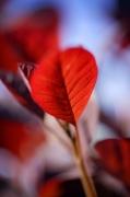 Red Leaves II by Richard Osbourne