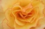 Begonia III by Richard Osbourne