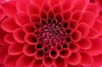 Red Dahlia by Richard Osbourne