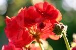 Red Geranium by Richard Osbourne