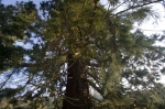 Giant Redwood I by Richard Osbourne