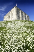 Norwich Castle With Daisies by Richard Osbourne