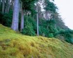 Scots Pines II