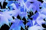 Maple Leaves by Richard Osbourne