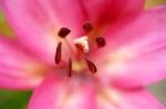 Asiatic Lily Closeup by Richard Osbourne