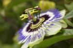 Passion Flower Close Up by Richard Osbourne