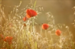 Poppies and Grasses Summer