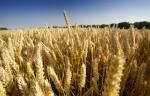 Wheat by Richard Osbourne