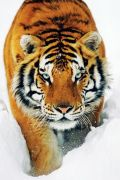 Tiger snow by Anonymous