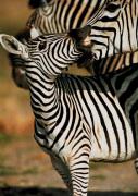 Savute, Botswana by Tony Heald