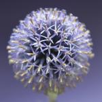 Echinops by Captureworx