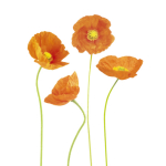 Papaver croceum