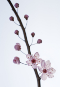 Prunus domestica by Michael Peuckert