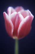 Tulipa 'Lustige witwe' by Tracy Simmonds