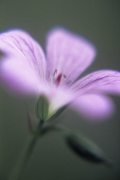 Geranium by Tracy Simmonds
