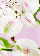 Alstroemeria, Alstroemeria Peruvian lily by Clive Holmes Ltd