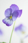 Viola, Viola by Clive Holmes Ltd