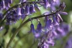 Hyacinthoides hispanica, Bluebell - Spanish bluebell by Ashton