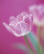 Tulipa, Tulip by Bjanka Kadic