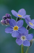 Myosotis, Forget-me-not by Rosemary Calvert