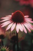Echinacea purpurea 'Rubinstern' Purple coneflower by Rosemary Calvert