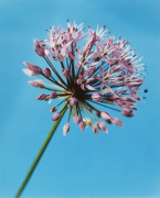 Allium, Allium by Catherine Lewis
