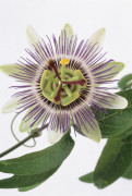 Passiflora caerulea Passion flower