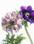 Anemone coronaria, Anemone by Carol Sharp