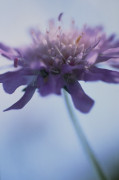 Knautia arvensis, Scabious - Field scabious by Carol Sharp