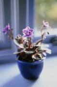 Saintpaulia, African violet by Carol Sharp
