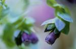 Cerinthe major purpurescens, Cerinthe by Carol Sharp