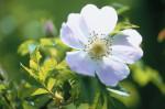 Rosa canina, Wild rose, Dog rose by Carol Sharp