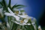 Choisya ternata 'Aztec pearl', Mexican orange blossom by Carol Sharp